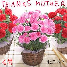 【超特価】母の日ギフト カーネーション4号 【商品準備日が2019/05/26ですがお届けは5月6日~5月12日となります】:予約品