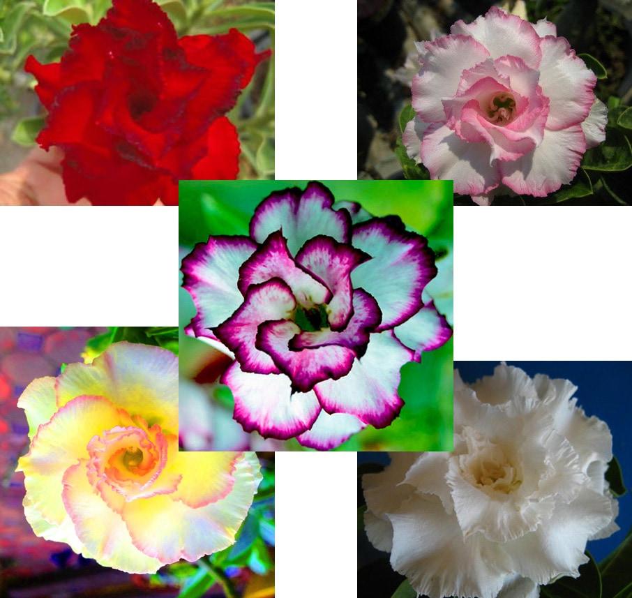 【種子】Adenium Obesum★アデニウム オベスム★ハイブリッド5種MIX各1粒の計5粒♪
